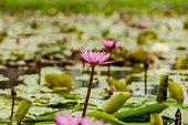 blossom lotus flower focus on flower