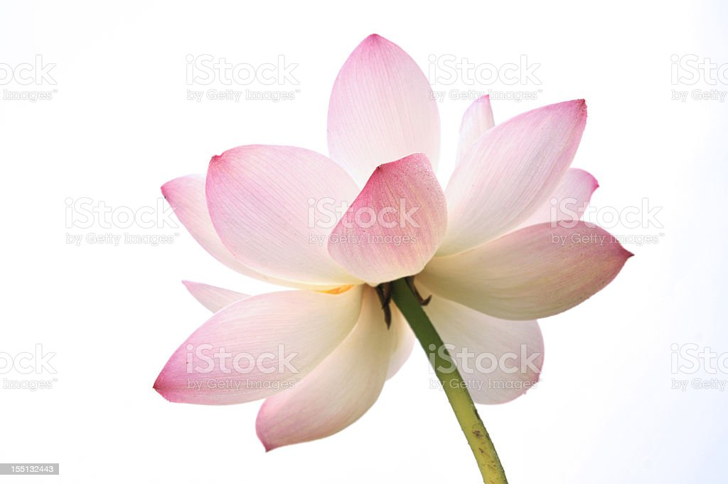 Blossom lotus flower royalty-free stock photo