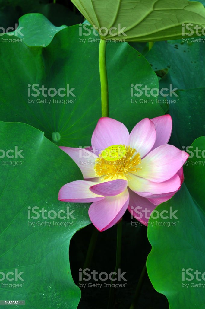 Blossom lotus flowers stock photo