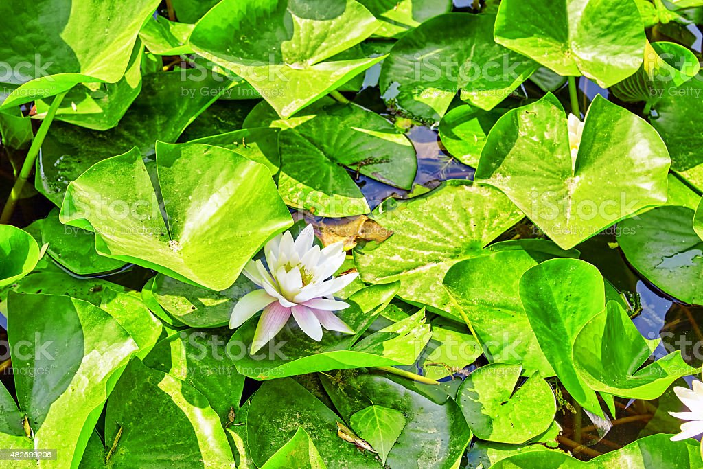 Blossom Lotus in typical Chinese garden, park. Beijing. stock photo
