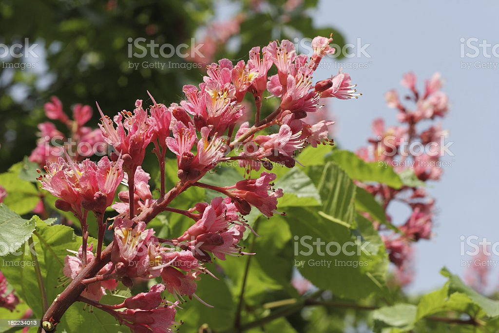 Blossom of a chestnut tree royalty-free stock photo