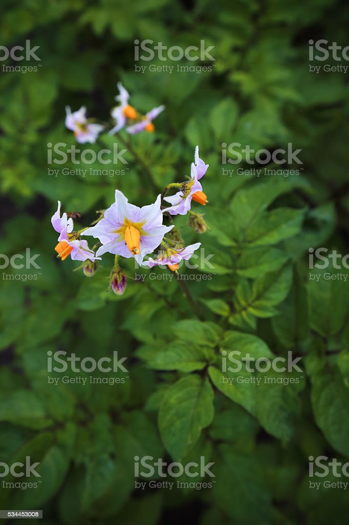 Blossom of a potato plant on the vegetable bed stock photo
