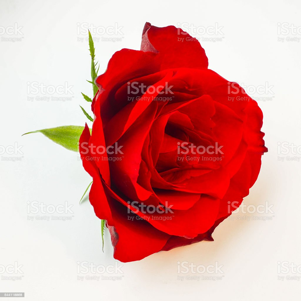 Blossom of a red rose isolated on white background stock photo