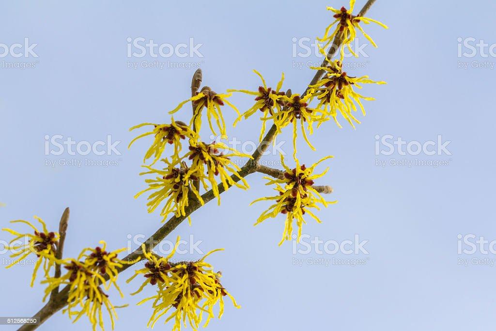 Blossom of a wild witch hazel stock photo