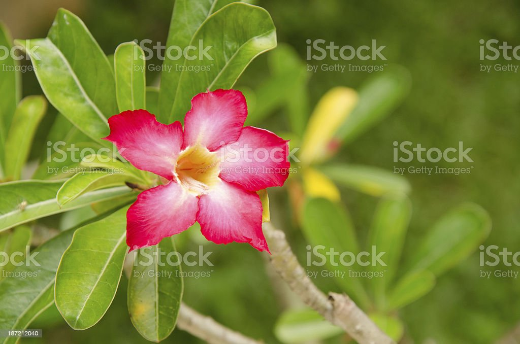 Blossom of Adenium obesum stock photo