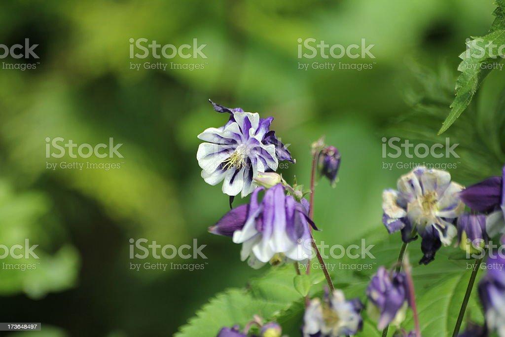 Blossom of Aquilegia, Columbine royalty-free stock photo