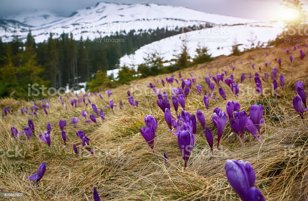 Blossom of crocuses at spring in the mountains. stock photo