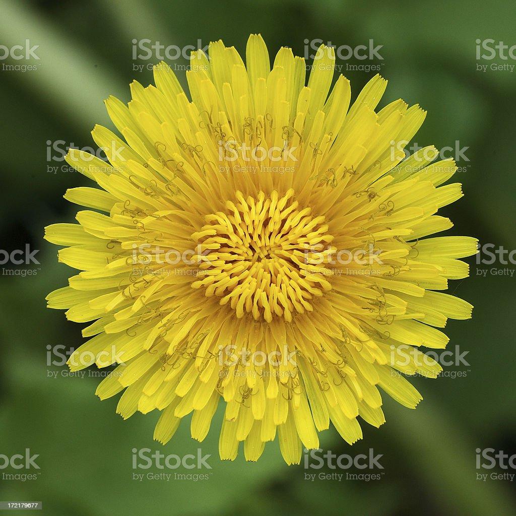 Blossom of dandelion royalty-free stock photo