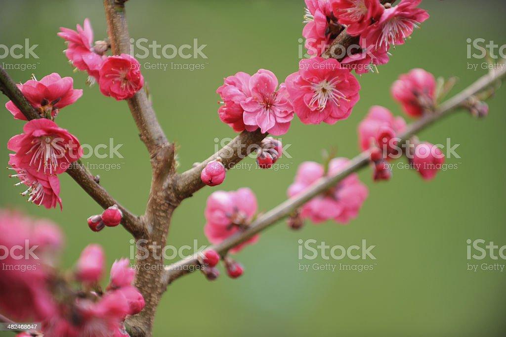 Blossom of Peach tree royalty-free stock photo