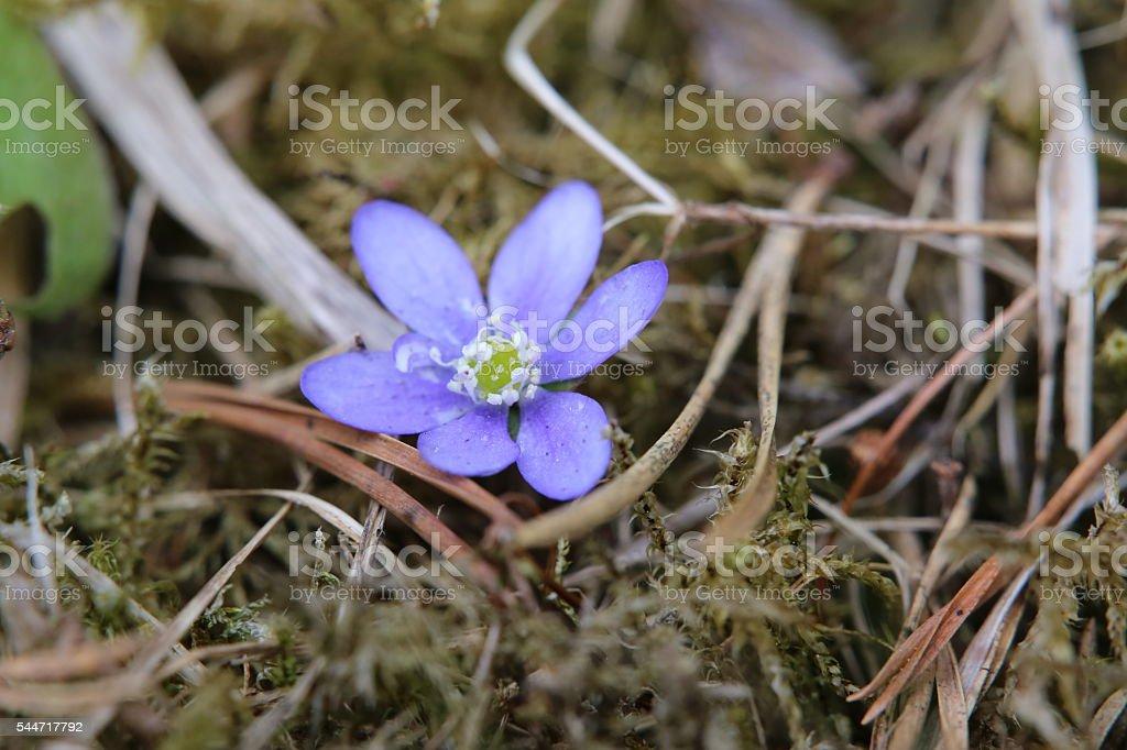 Blossom of the common hepatica (Hepatica nobilis) stock photo