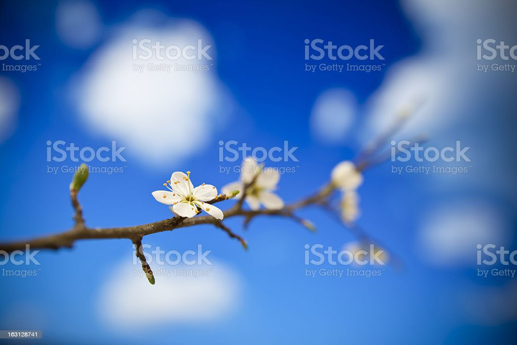 Blossom on blue royalty-free stock photo