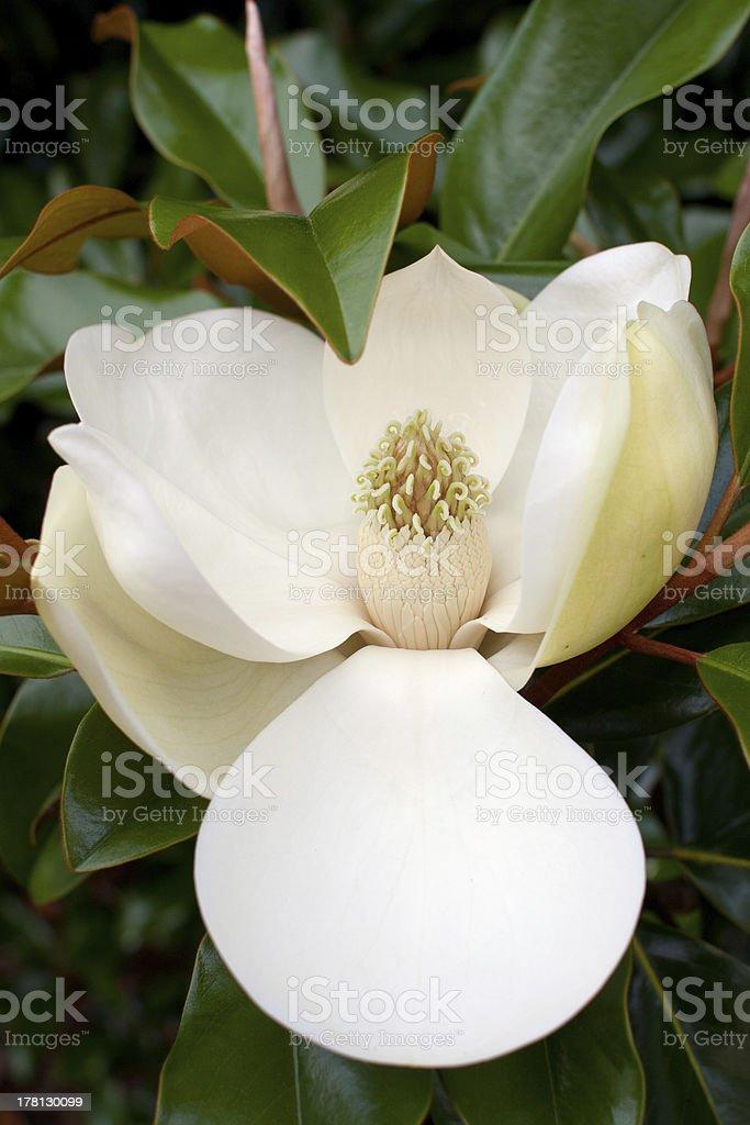 Blossom On Magnolia Tree royalty-free stock photo