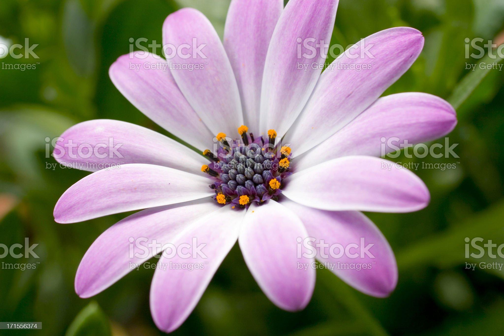 Blossom royalty-free stock photo