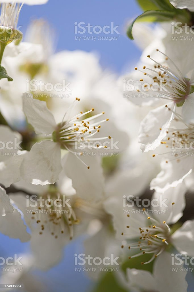 Blossom royalty-free stock photo