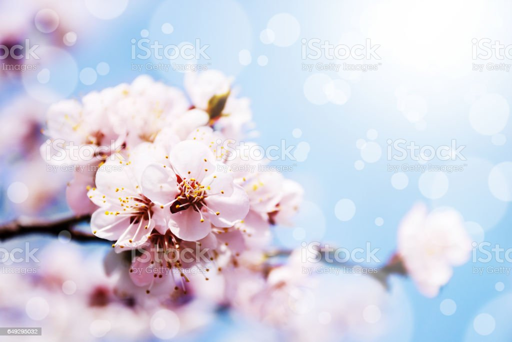 blossom stock photo