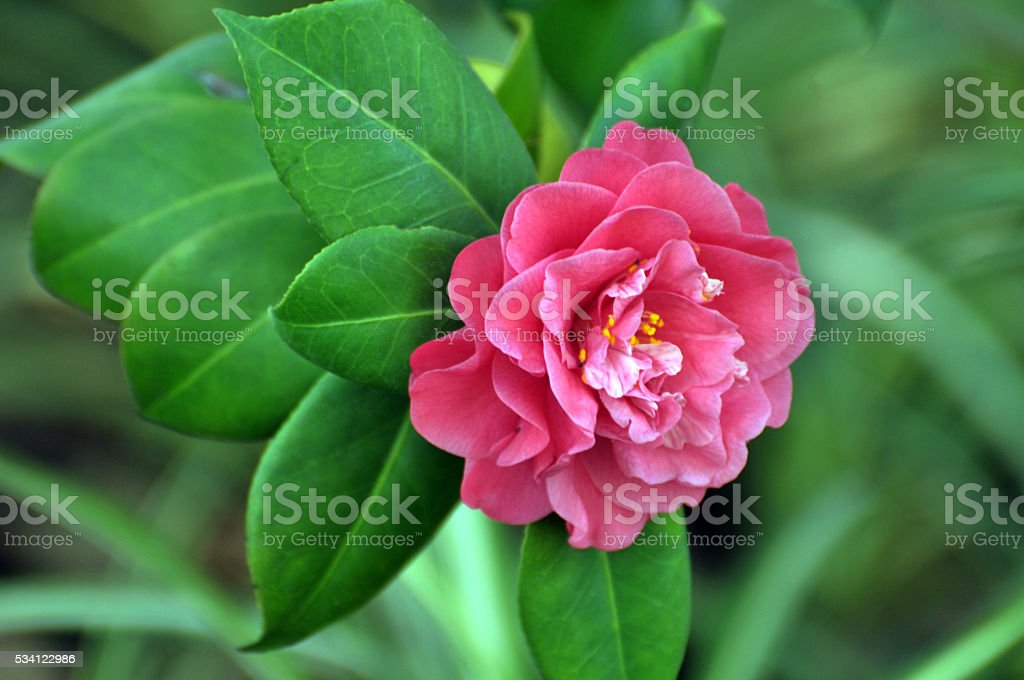 Blossom Pink Austin rose stock photo