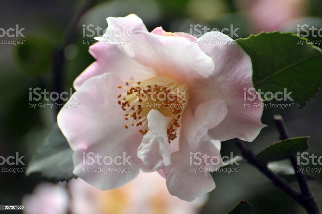Blossom Pink Austin rose stock photo