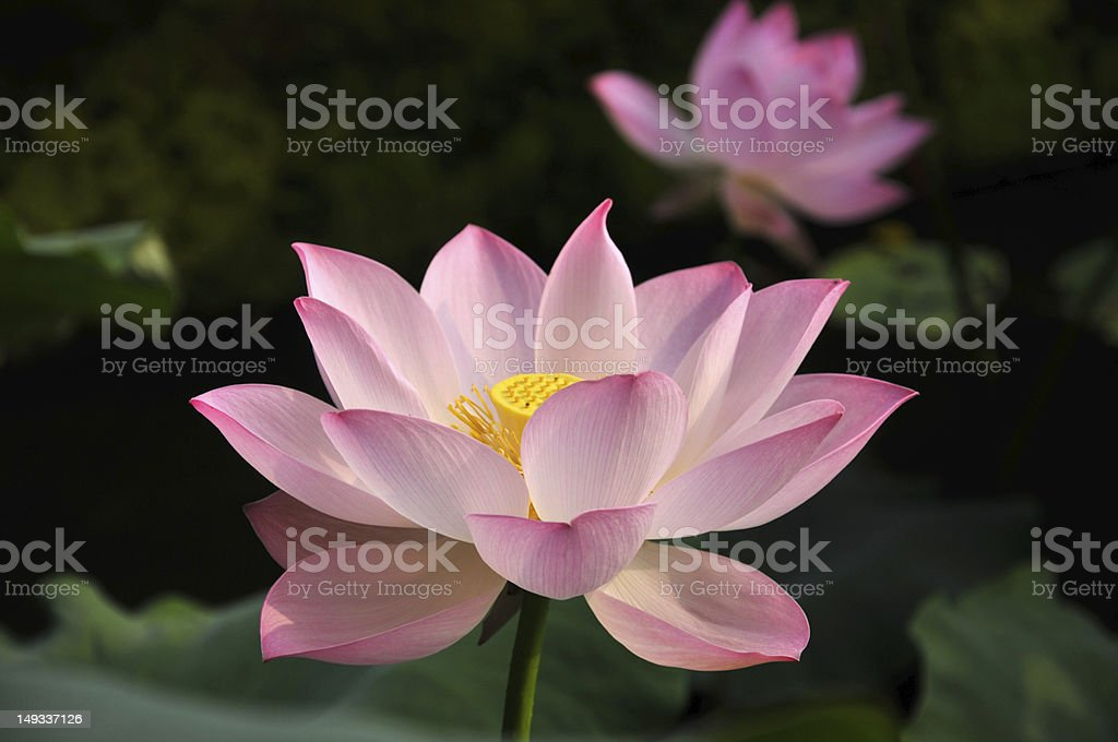 Blossom pink lotus flower royalty-free stock photo