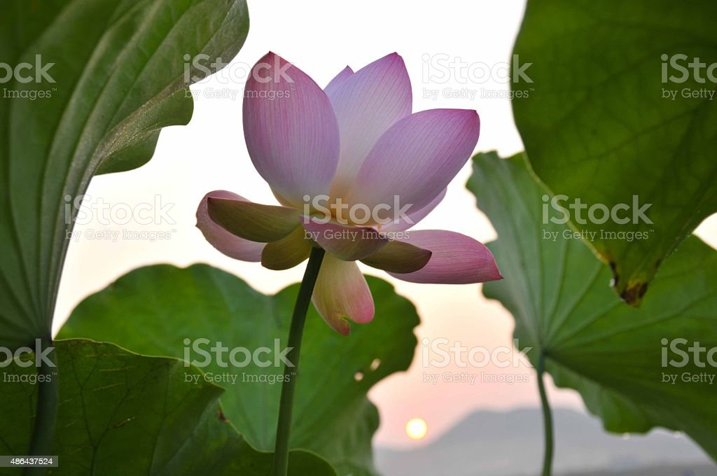 Blossom pink lotus flower stock photo