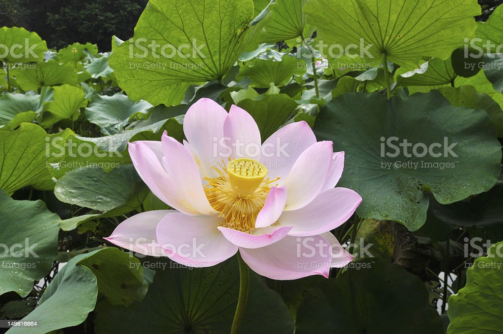 Blossom pink lotus flowers royalty-free stock photo