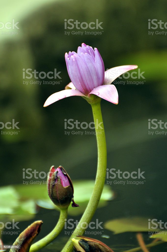 Blossom pink waterlily flower stock photo
