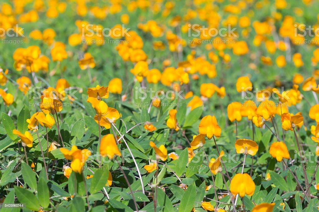 Blossom Pinto Peanut (Arachis pintoi) in sunshine day stock photo