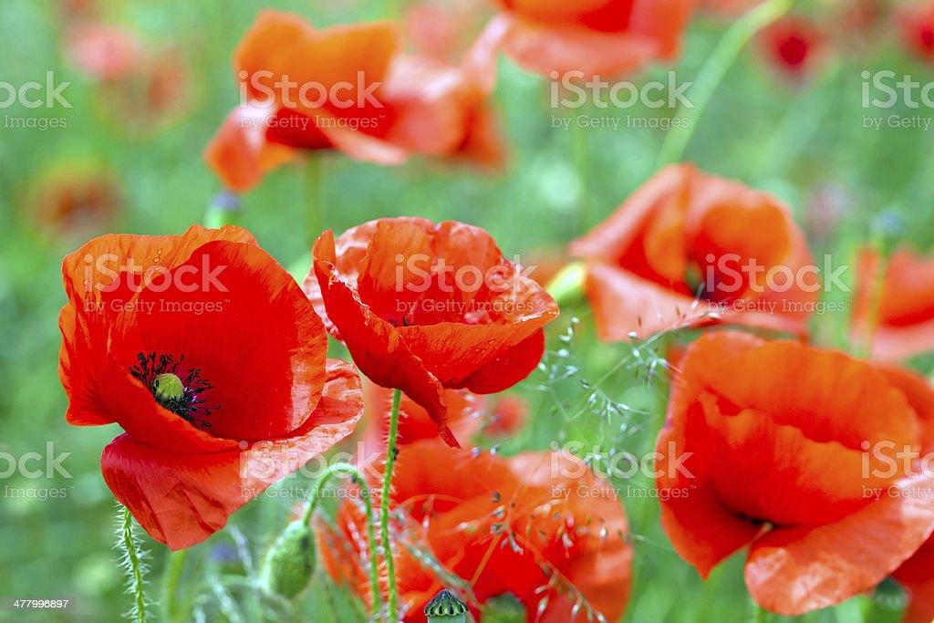 Blossom poppy fields royalty-free stock photo
