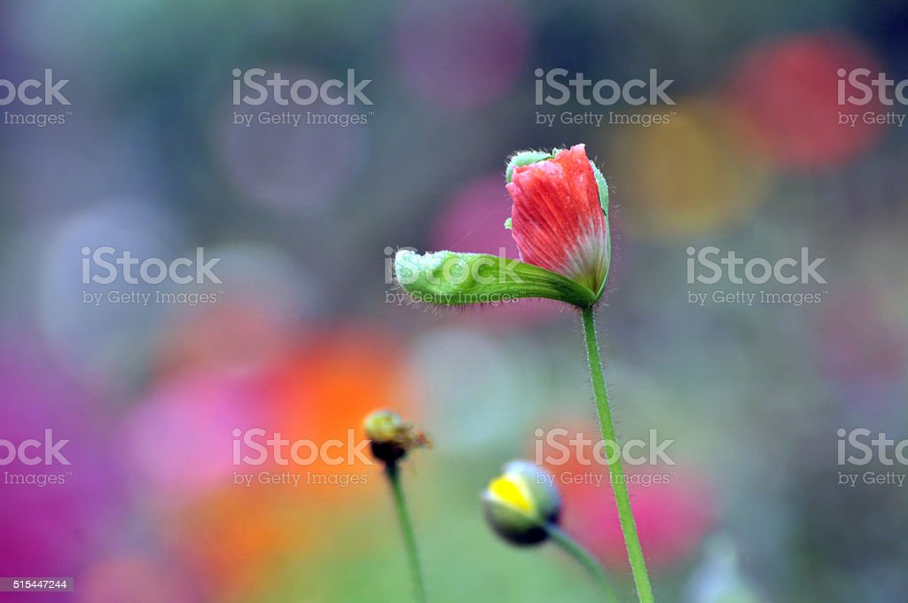 Blossom poppy flower stock photo