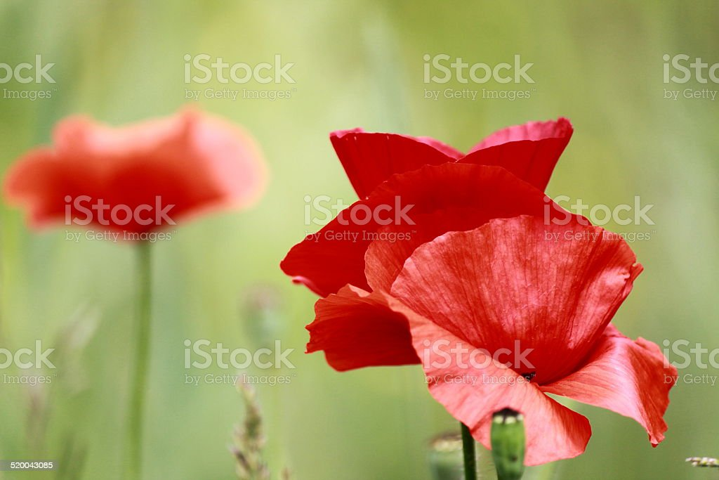 Blossom poppy flowers on the meadow stock photo