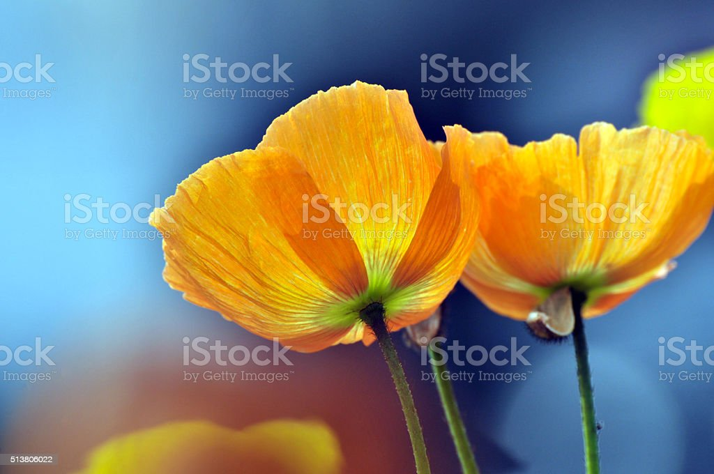 Blossom poppy flowers stock photo