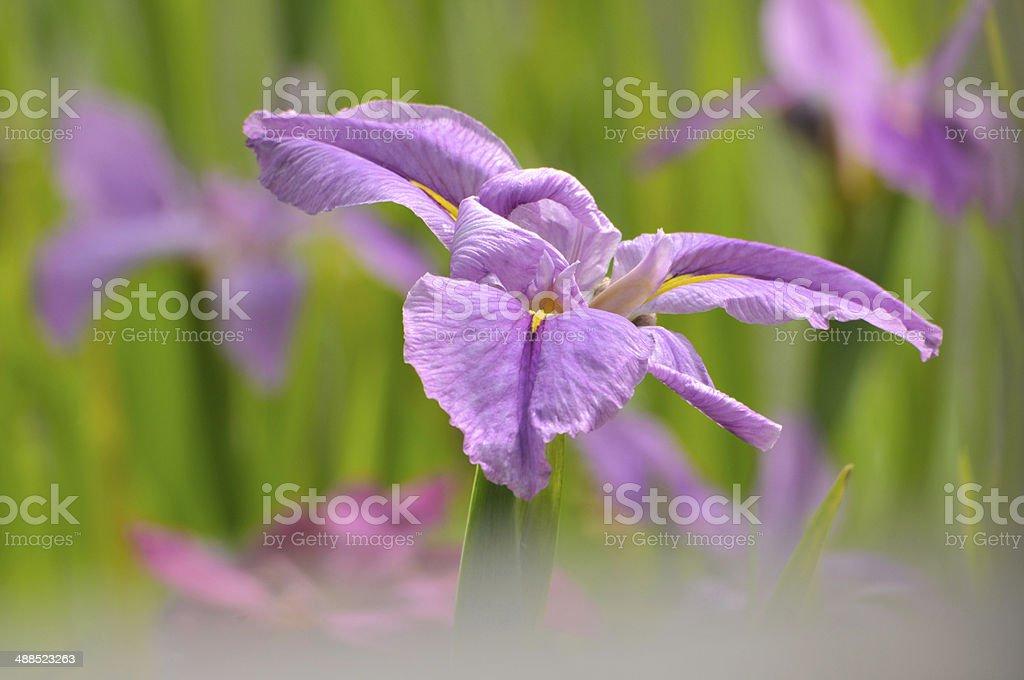 Blossom purple gladiolus flower royalty-free stock photo