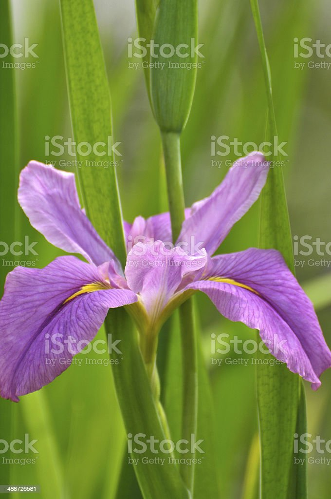 Blossom purple gladiolus flower stock photo