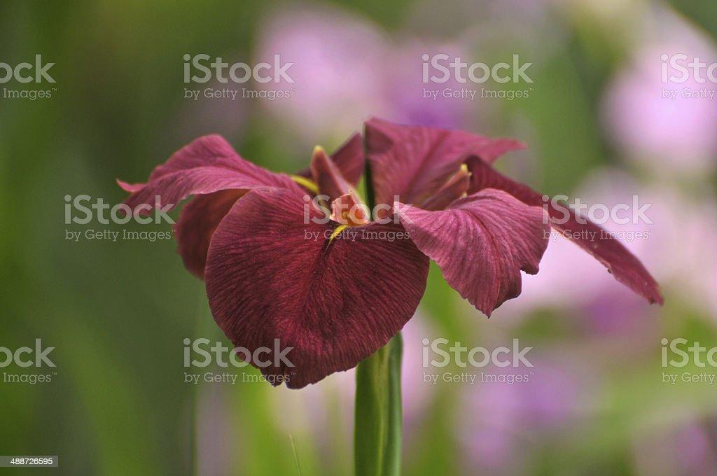 Blossom Red gladiolus flower royalty-free stock photo