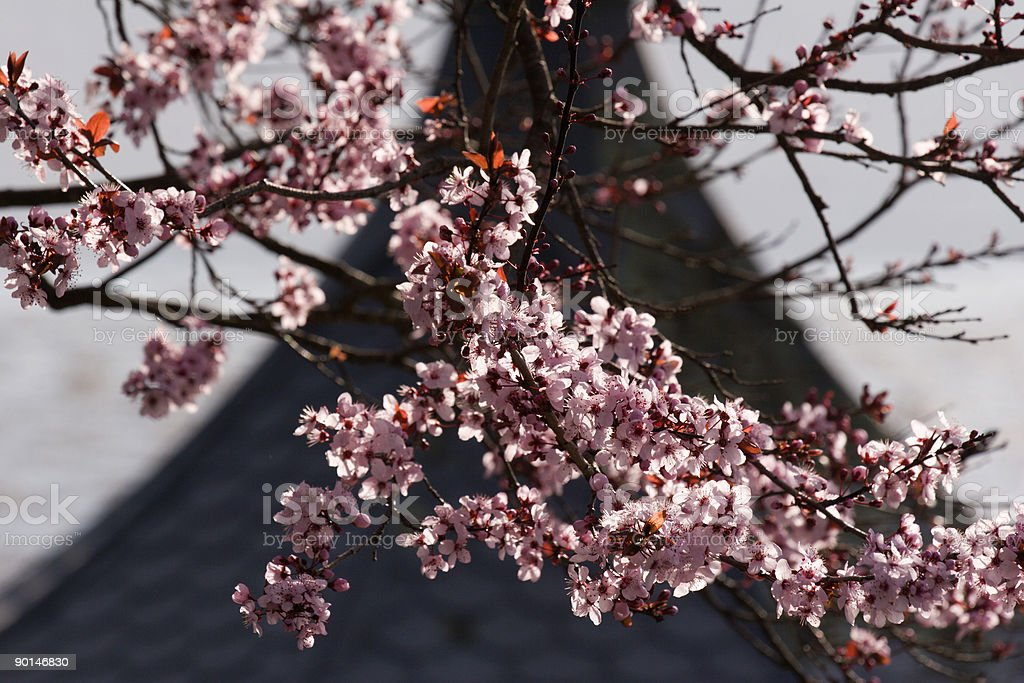 Blossom Roof royalty-free stock photo