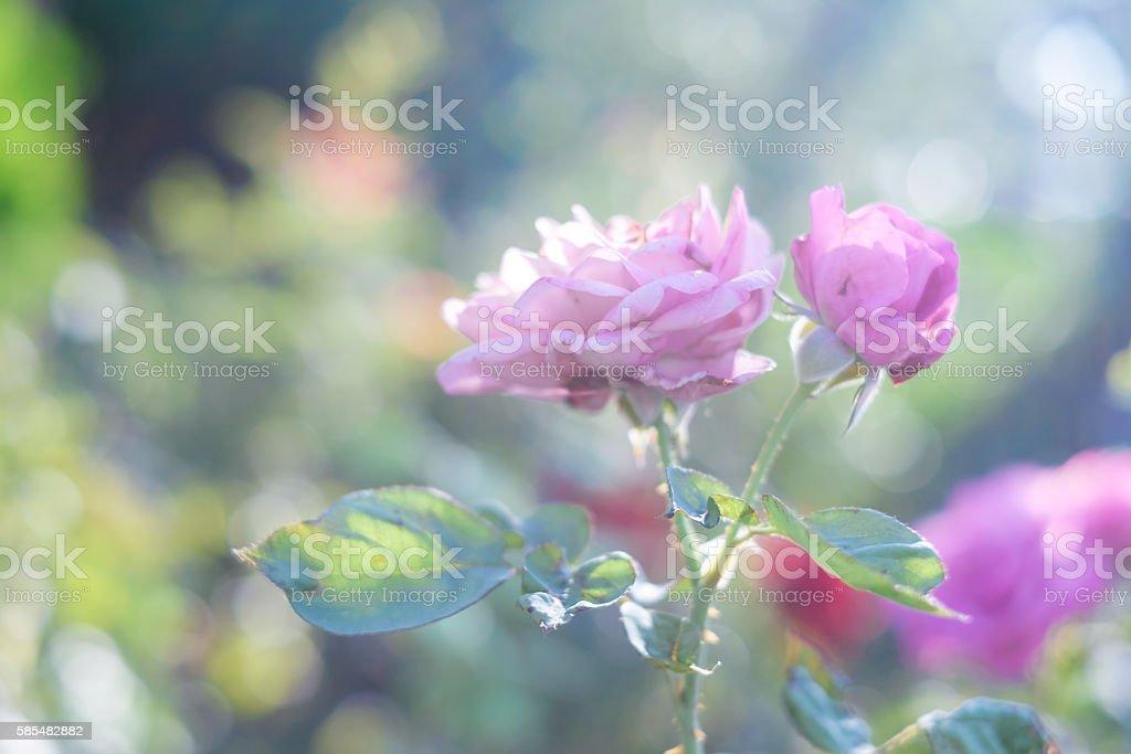 Blossom Rose. Стоковые фото Стоковая фотография
