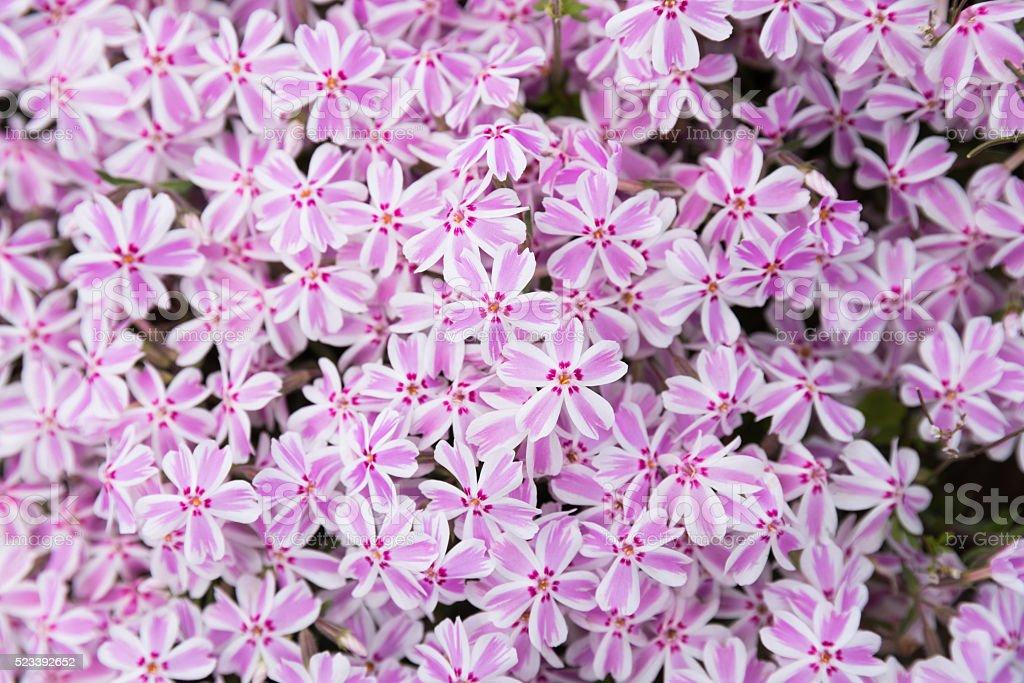 Blossom Shiba Sakura stock photo