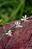 Blossom small white flowers