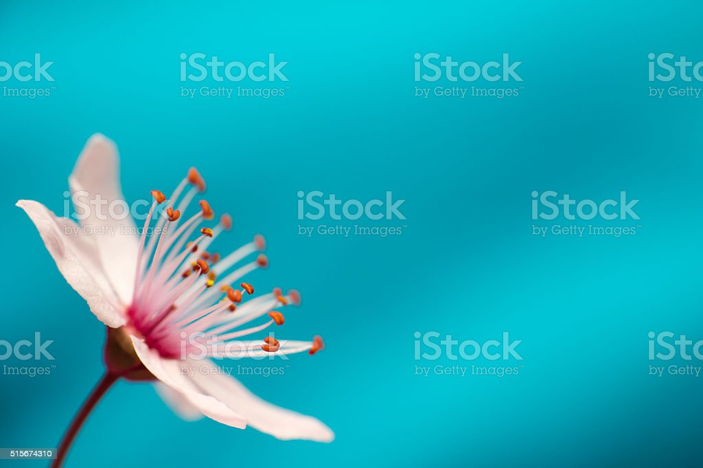 Blossom spring flower isolated on serenity blue background stock photo