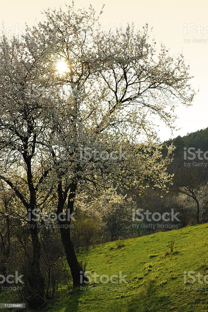 Blossom spring tree stock photo