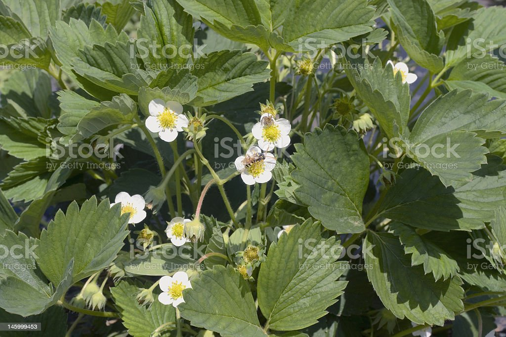 Blossom strawberry royalty-free stock photo