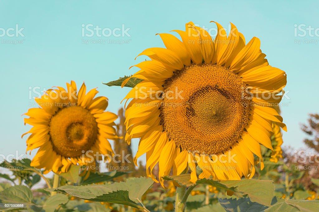 Blossom sunflowers stock photo
