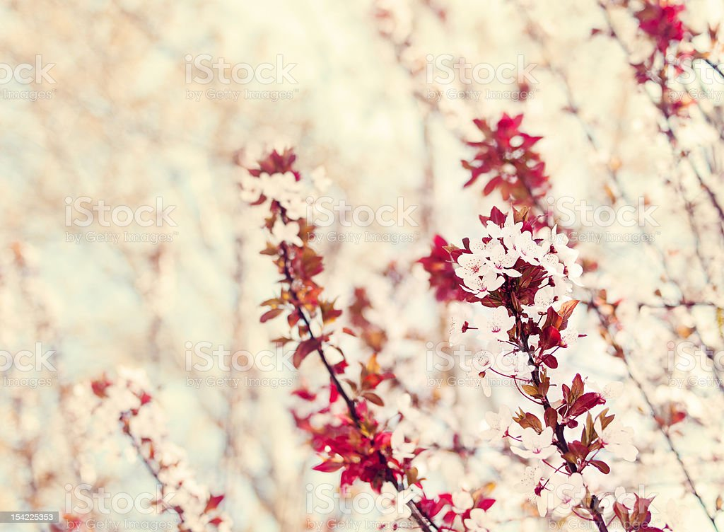 Blossom tree branches royalty-free stock photo