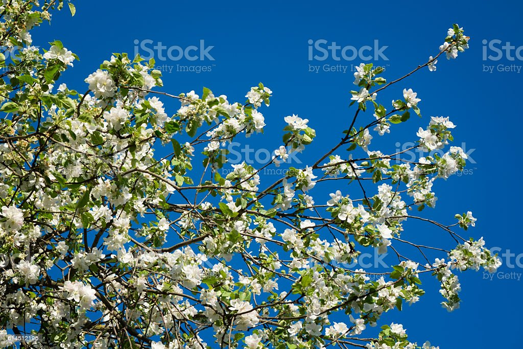 Blossom tree over nature Spring flowers blue sky background stock photo