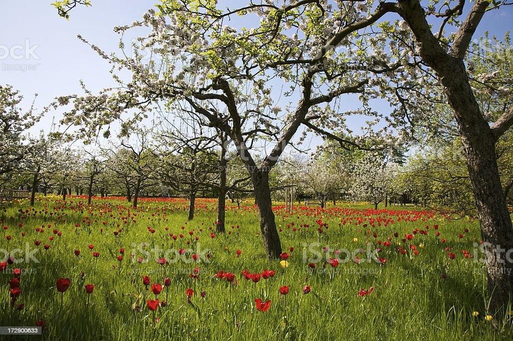 Blossom Trees royalty-free stock photo