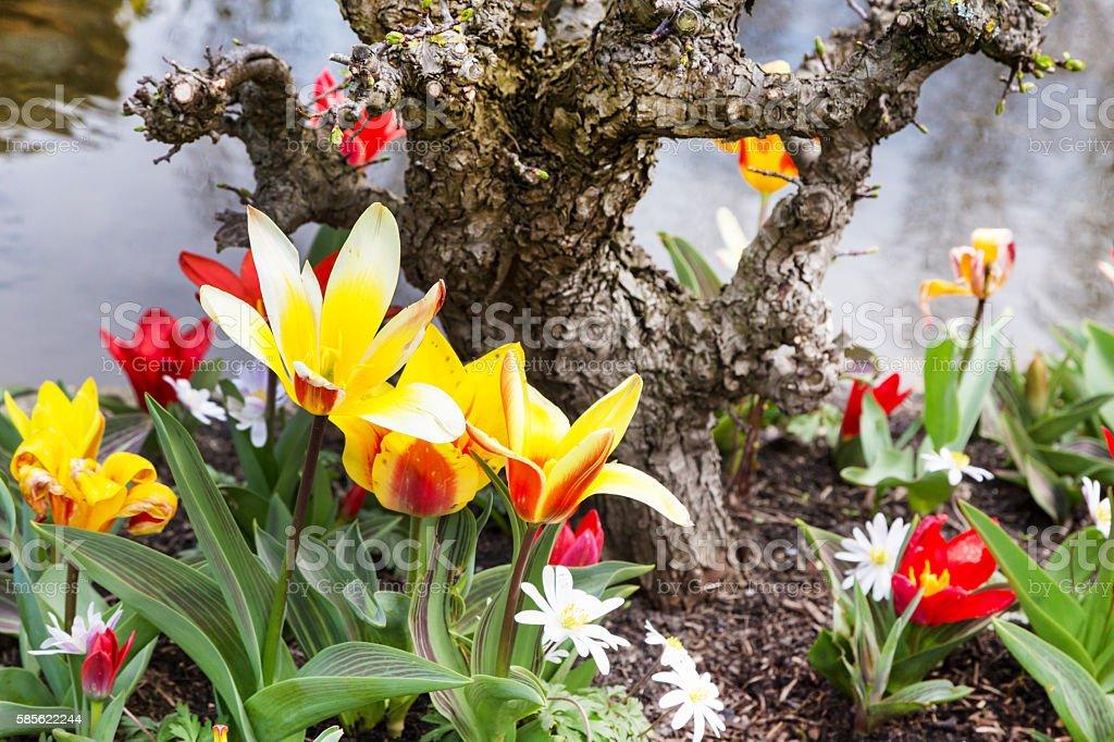 Blossom tulips in the Dutch village stock photo
