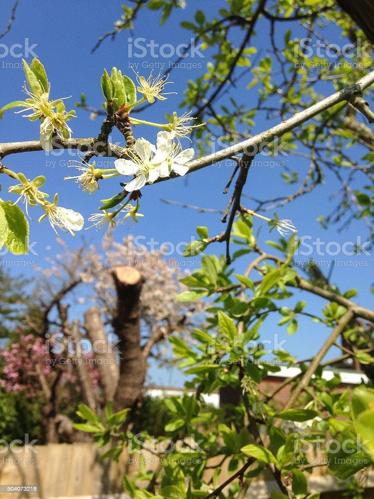 Blossom - Victoria Plum Tree stock photo