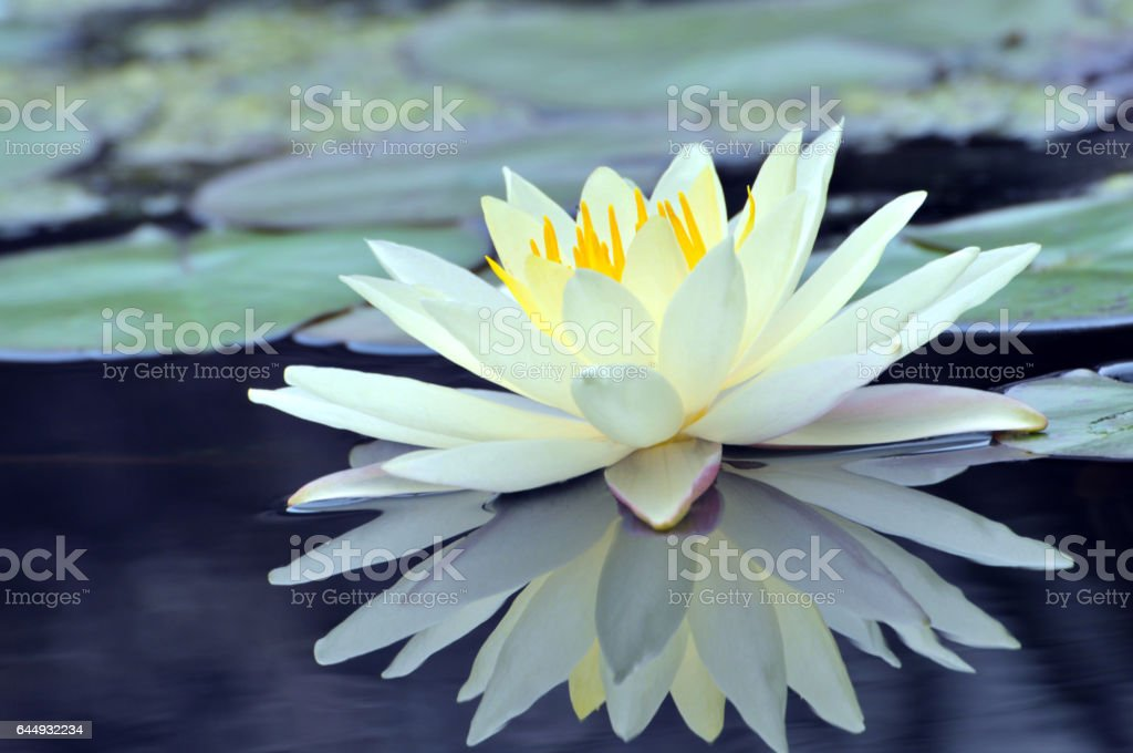 Blossom waterlily flower stock photo
