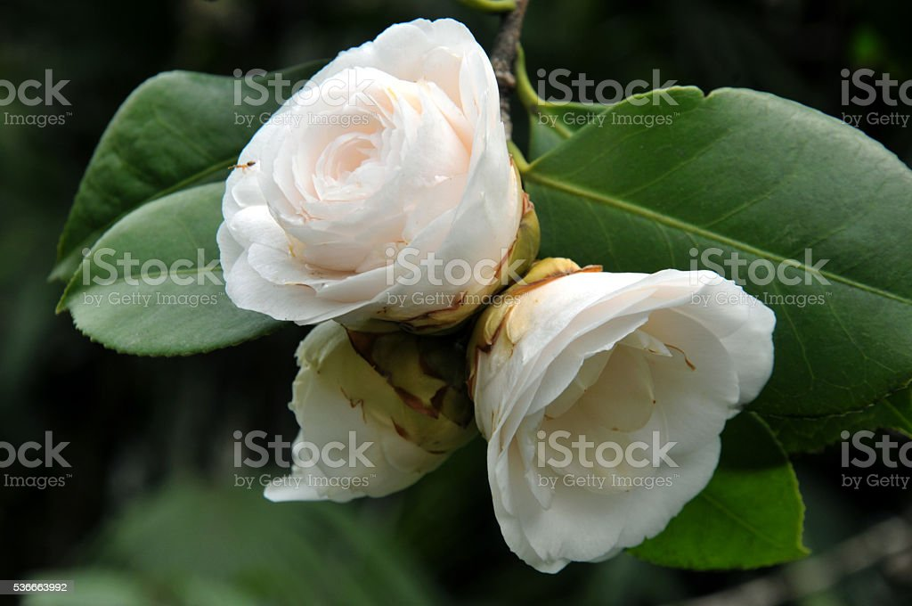 Blossom White Austin rose stock photo