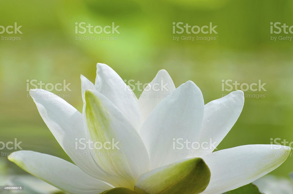 Blossom white waterlily flower stock photo