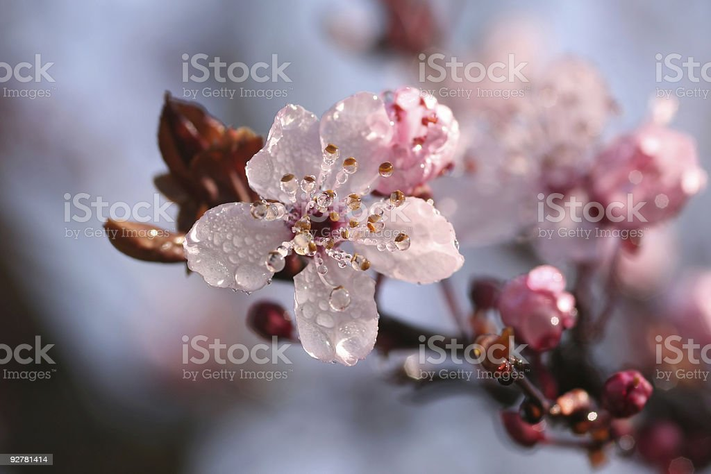 Blossom with dew droplets royalty-free stock photo